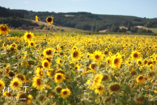 field of sunflowers in Oregon