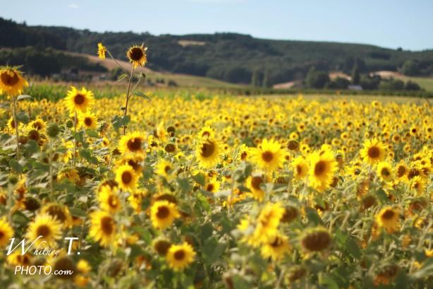 field of sunflowers in Oregon